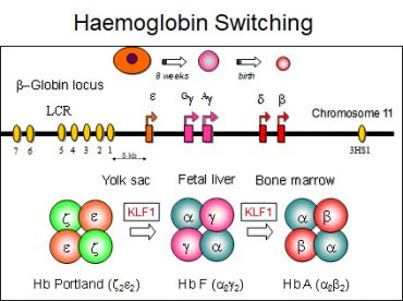PhD and Honours Projects – Hemoglobin Switching